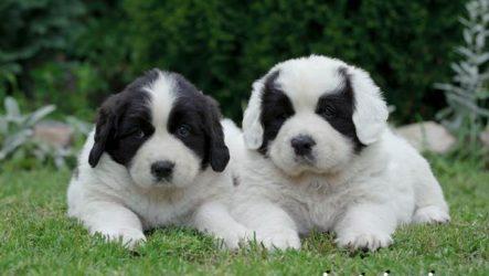 Ландсир собака. Описание, особенности, уход и цена породы ландсир