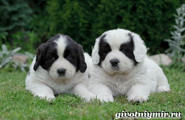 Ландсир-собака-Описание-особенности-уход-и-цена-породы-ландсир-7