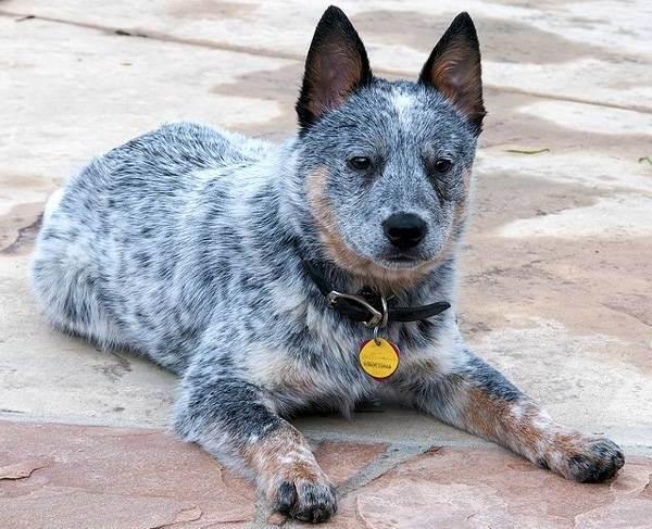 Австралийский-хилер-собака-Описание-особенности-уход-и-цена-австралийского-хилера-1