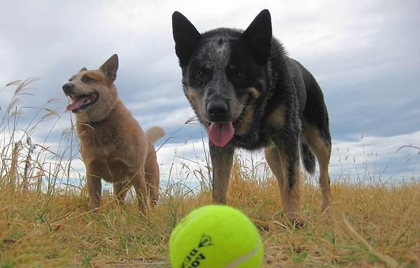Австралийский-хилер-собака-Описание-особенности-уход-и-цена-австралийского-хилера-13