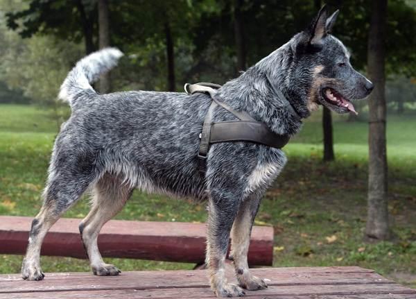 Австралийский-хилер-собака-Описание-особенности-уход-и-цена-австралийского-хилера-15