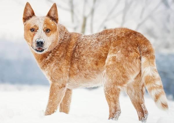 Австралийский-хилер-собака-Описание-особенности-уход-и-цена-австралийского-хилера-16