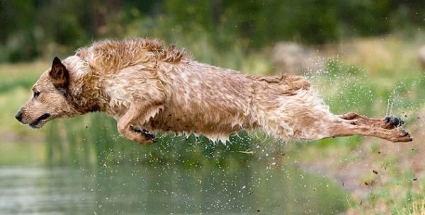 Австралийский-хилер-собака-Описание-особенности-уход-и-цена-австралийского-хилера-17