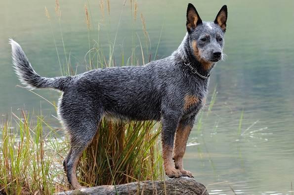 Австралийский-хилер-собака-Описание-особенности-уход-и-цена-австралийского-хилера-2