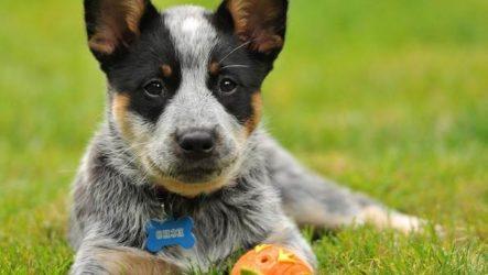Австралийский хилер собака. Описание, особенности, уход и цена австралийского хилера