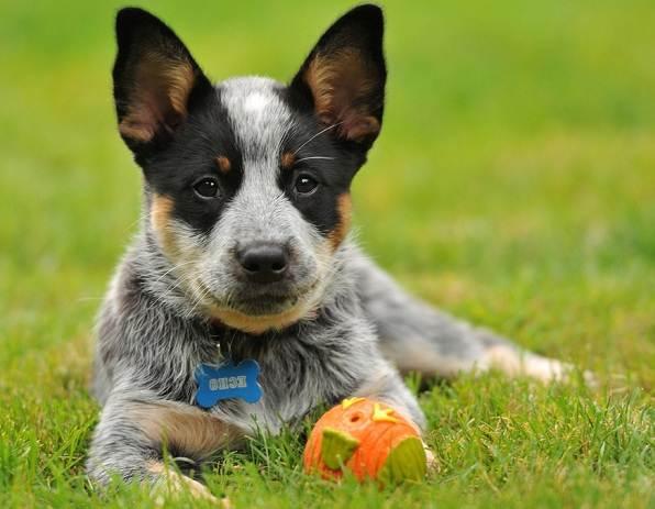 Австралийский-хилер-собака-Описание-особенности-уход-и-цена-австралийского-хилера-3