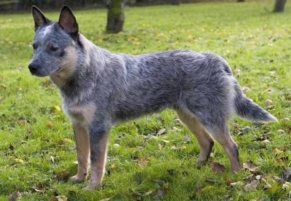 Австралийский-хилер-собака-Описание-особенности-уход-и-цена-австралийского-хилера-4
