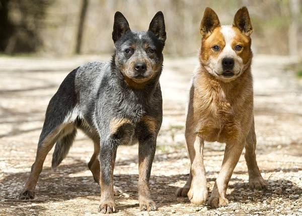 Австралийский-хилер-собака-Описание-особенности-уход-и-цена-австралийского-хилера-5