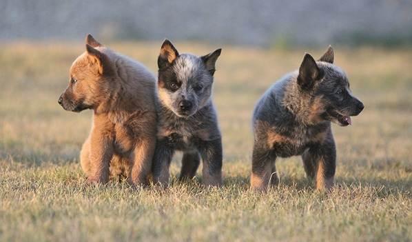 Австралийский-хилер-собака-Описание-особенности-уход-и-цена-австралийского-хилера-7