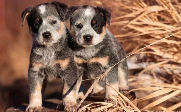 Австралийский-хилер-собака-Описание-особенности-уход-и-цена-австралийского-хилера-8