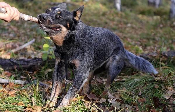 Австралийский-хилер-собака-Описание-особенности-уход-и-цена-австралийского-хилера-9
