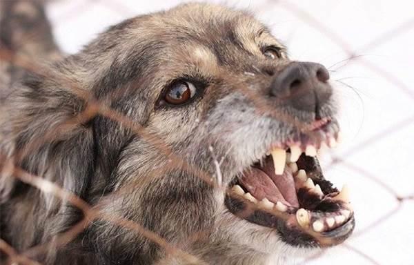 Бешенство-у-собак-первые-симптомы-и-признаки-профилактика-и-лечение-12