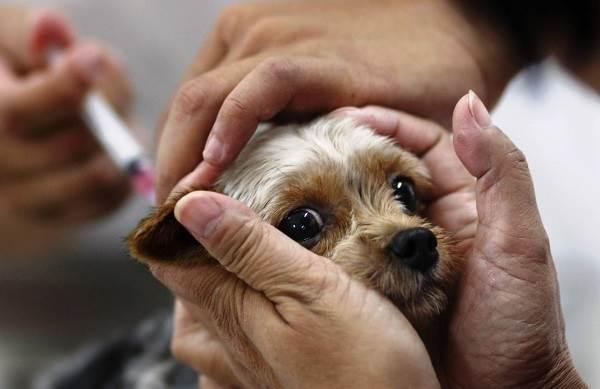 Бешенство-у-собак-первые-симптомы-и-признаки-профилактика-и-лечение-15