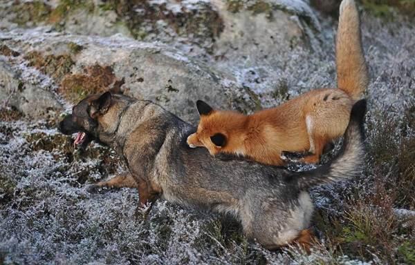 Бешенство-у-собак-первые-симптомы-и-признаки-профилактика-и-лечение-16