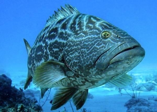 Групер-рыба-Описание-особенности-и-среда-обитания-рыбы-групер-1