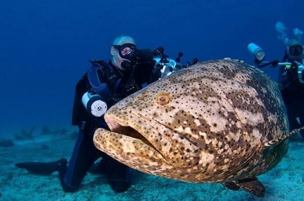 Групер-рыба-Описание-особенности-и-среда-обитания-рыбы-групер-3
