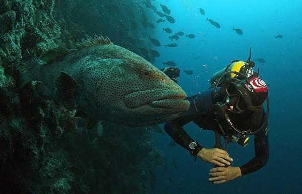 Групер-рыба-Описание-особенности-и-среда-обитания-рыбы-групер-4