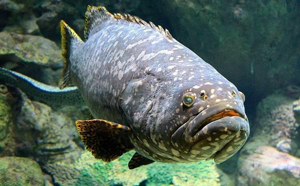 Групер-рыба-Описание-особенности-и-среда-обитания-рыбы-групер-5