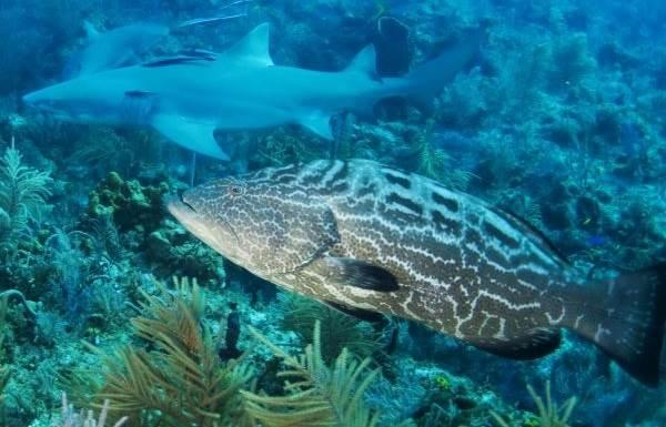 Групер-рыба-Описание-особенности-и-среда-обитания-рыбы-групер-7