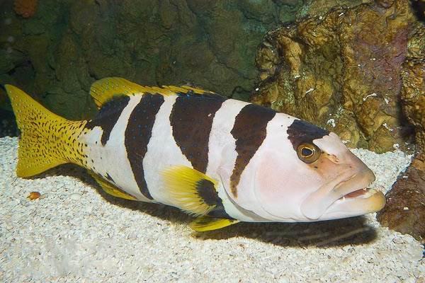 Групер-рыба-Описание-особенности-и-среда-обитания-рыбы-групер-9