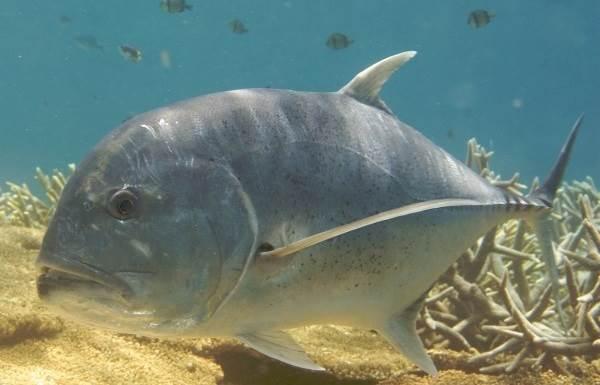 Каранкс-рыба-Описание-особенности-и-среда-обитания-рыбы-каранкс-1