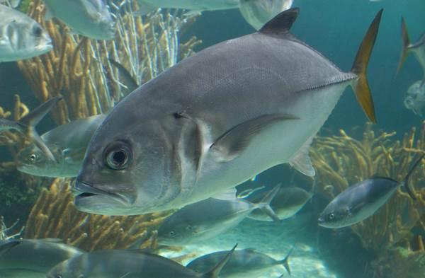 Каранкс-рыба-Описание-особенности-и-среда-обитания-рыбы-каранкс-10