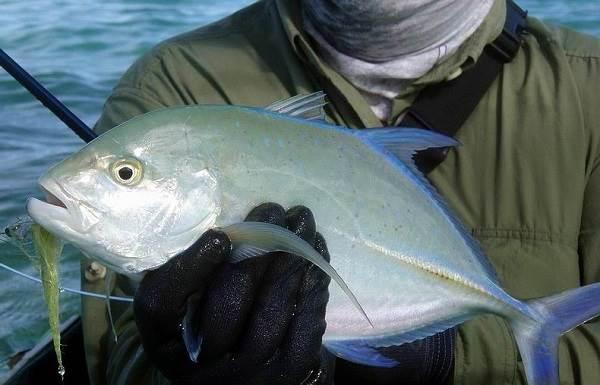 Каранкс-рыба-Описание-особенности-и-среда-обитания-рыбы-каранкс-11