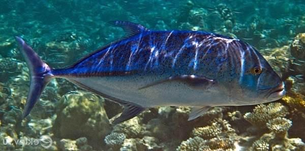 Каранкс-рыба-Описание-особенности-и-среда-обитания-рыбы-каранкс-12