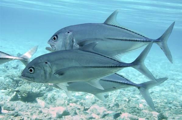 Каранкс-рыба-Описание-особенности-и-среда-обитания-рыбы-каранкс-14