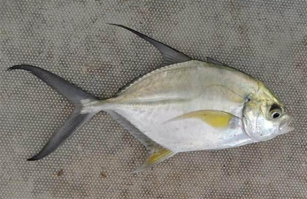 Каранкс-рыба-Описание-особенности-и-среда-обитания-рыбы-каранкс-15