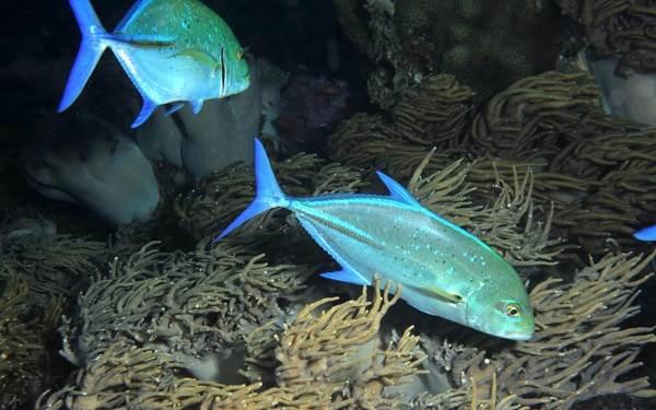 Каранкс-рыба-Описание-особенности-и-среда-обитания-рыбы-каранкс-17