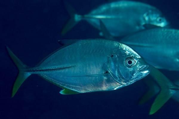 Каранкс-рыба-Описание-особенности-и-среда-обитания-рыбы-каранкс-18