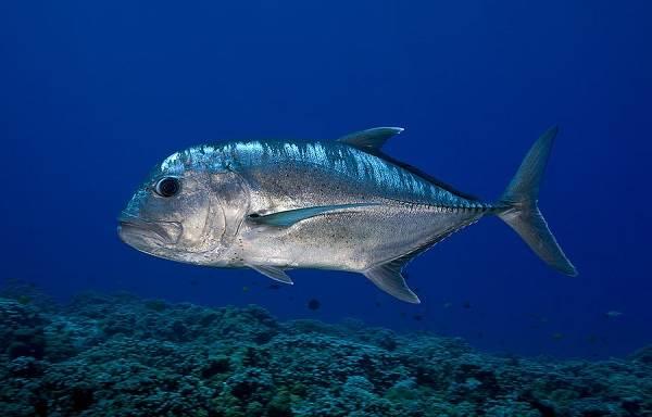 Каранкс-рыба-Описание-особенности-и-среда-обитания-рыбы-каранкс-4