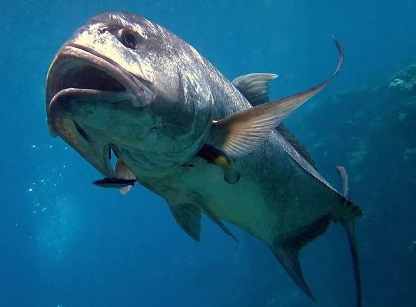 Каранкс-рыба-Описание-особенности-и-среда-обитания-рыбы-каранкс-5