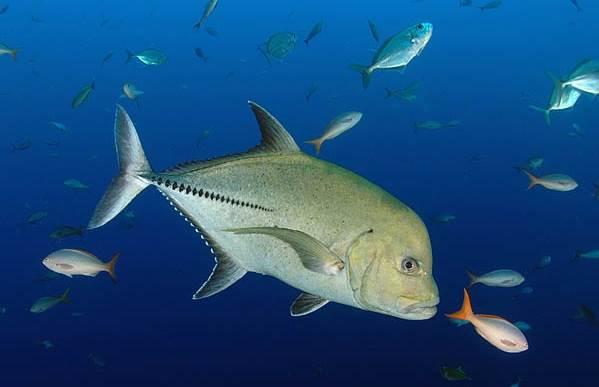 Каранкс-рыба-Описание-особенности-и-среда-обитания-рыбы-каранкс