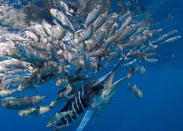 Марлин-рыба-Описание-особенности-виды-и-ловля-марлина-10
