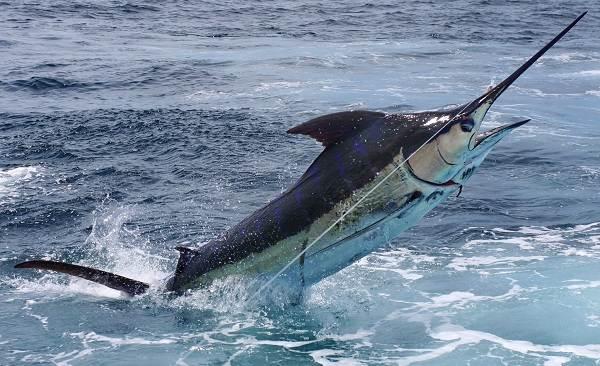 Марлин-рыба-Описание-особенности-виды-и-ловля-марлина-11