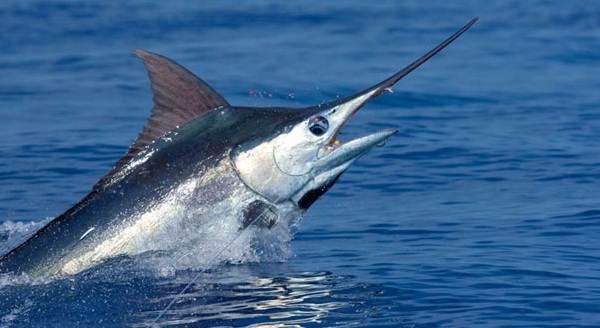 Марлин-рыба-Описание-особенности-виды-и-ловля-марлина-2