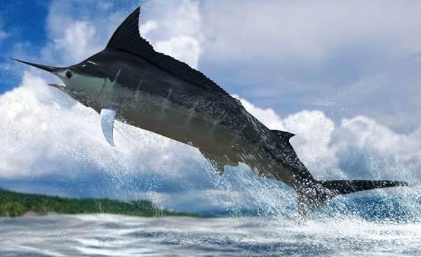 Марлин-рыба-Описание-особенности-виды-и-ловля-марлина-3