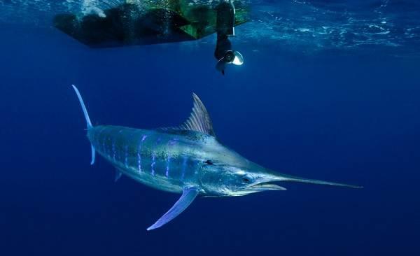 Марлин-рыба-Описание-особенности-виды-и-ловля-марлина-4