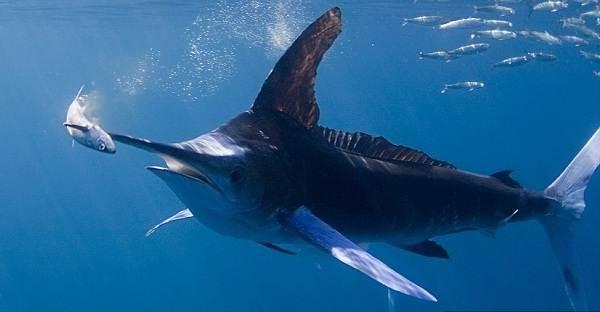 Марлин-рыба-Описание-особенности-виды-и-ловля-марлина-6