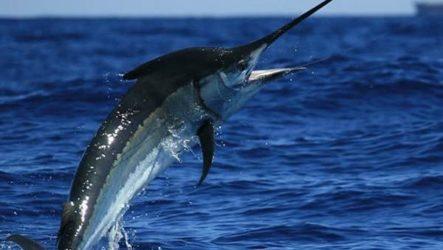 Марлин рыба. Описание, особенности, виды и ловля марлина