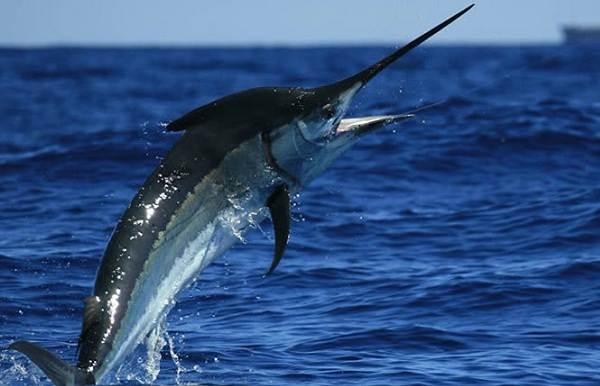 Марлин-рыба-Описание-особенности-виды-и-ловля-марлина-7