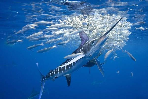 Марлин-рыба-Описание-особенности-виды-и-ловля-марлина-8