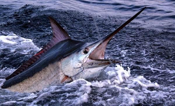 Марлин-рыба-Описание-особенности-виды-и-ловля-марлина