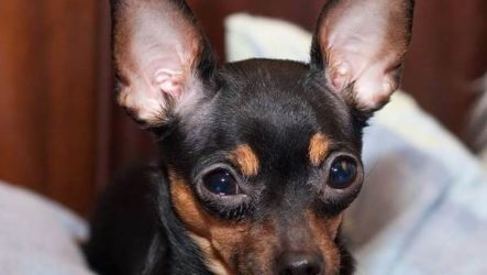 Русский той-терьер собака. Описание, особенности, уход и цена русского той-терьера