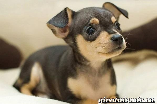 Русский-той-терьер-собака-Описание-особенности-уход-и-цена-русского-той-терьера-13