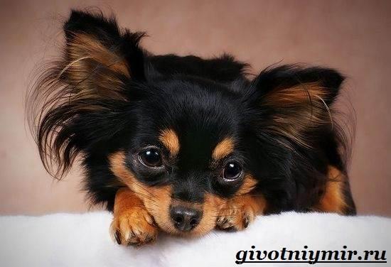 Русский-той-терьер-собака-Описание-особенности-уход-и-цена-русского-той-терьера-2