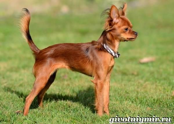 Русский-той-терьер-собака-Описание-особенности-уход-и-цена-русского-той-терьера-4