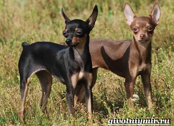 Русский-той-терьер-собака-Описание-особенности-уход-и-цена-русского-той-терьера-5